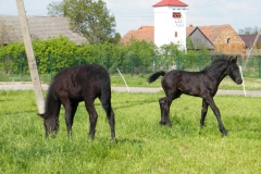 konie_04